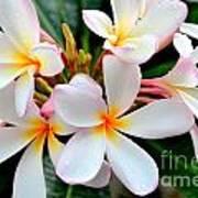 White Plumeria - 2 Poster