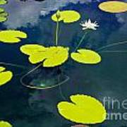 White Pond Lily Poster