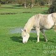 White Pony On The Moors Poster