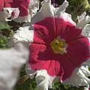 White-red Petunia Poster