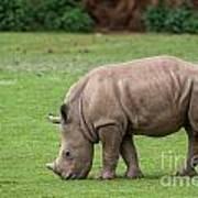 White Rhino 12 Poster