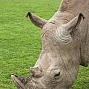 White Rhino 15 Poster