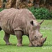 White Rhino 5 Poster
