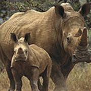 White Rhinoceros And Baby Lewa Kenya Poster
