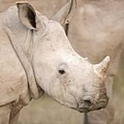 White Rhinoceros Calf Poster