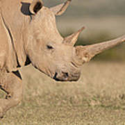 White Rhinoceros Kenya Poster