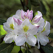 White Rhododendren Poster