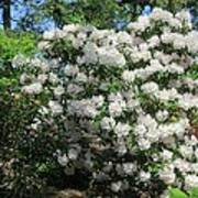 White Rhododendron Blooming In The Garden Poster