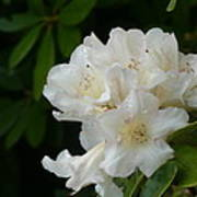 White Rhododendron With Tears Poster