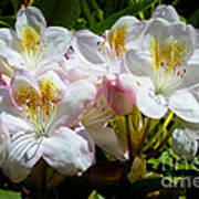White Rhododendron In Sunlight Poster
