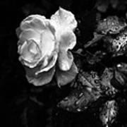 White Rose Full Bloom Poster