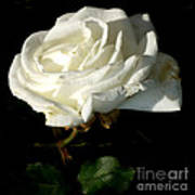 White Rose Poster by M C Sturman
