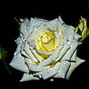 White Rose With Dew Poster