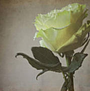 White Rose With Old Paper Texture Poster