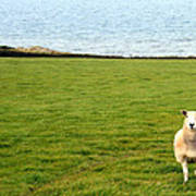 White Sheep In A Green Field By The Sea Poster