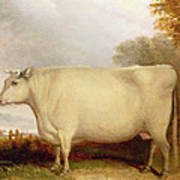 White Short-horned Cow In A Landscape Poster