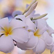 White Snow Frangipani Flowers Poster