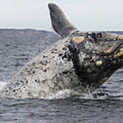White Southern Right Whale Breaching Poster