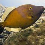 White Spotted Filefish Poster