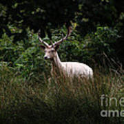White Stag Poster