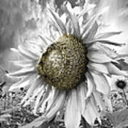 White Sunflower Poster