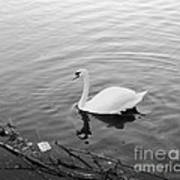 White Swan Solitary Poster