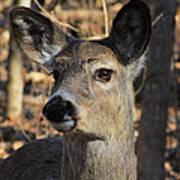 White Tailed Deer 1 Poster