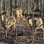 White Tailed Deer 2 Poster