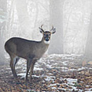 White Tailed Deer Buck In The Mist Poster