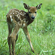 White-tailed Deer Fawn Meadow Poster