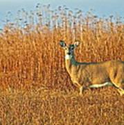 White Tailed Deer In Morning Light Poster