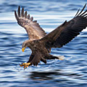 White-tailed Eagle Poster