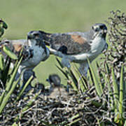 White-tailed Hawk Family Poster