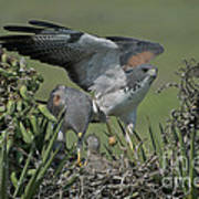 White-tailed Hawks At Nest Poster
