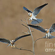White-tailed Kite Young Poster