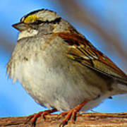White Throated Sparrow And Blue Sky Poster