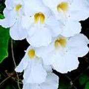 White Thunbergia On The Fence Poster