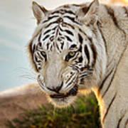 White Tiger At Sunrise Poster