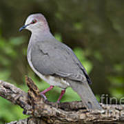 White-tipped Dove Poster