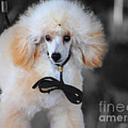 White Toy Poodle Poster