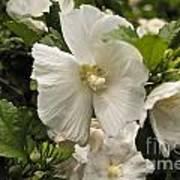 White Tree Flower Poster