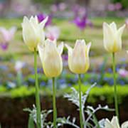 White Tulips In Parisian Garden Poster