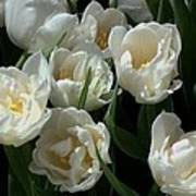 White Tulips In The Garden Poster