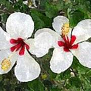 White Twin Hibiscus With Red Veriegation Poster