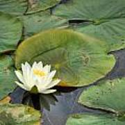 White Water Lily Poster by Matt Dobson