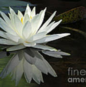 White Water Lily Reflections Poster