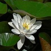 White Waterlily Lotus Poster