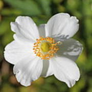 White Windflower Poster
