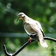 White Winged Dove Poster