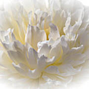 White Peony With A Dash Of Yellow Poster